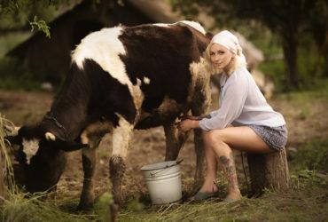 Течет молочко по вымечку…
